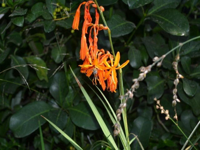 Crocosmia aurea with pollinator