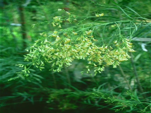 Freylinia lanceolata spray of flowers