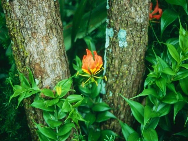 Gloriosa superba in garden