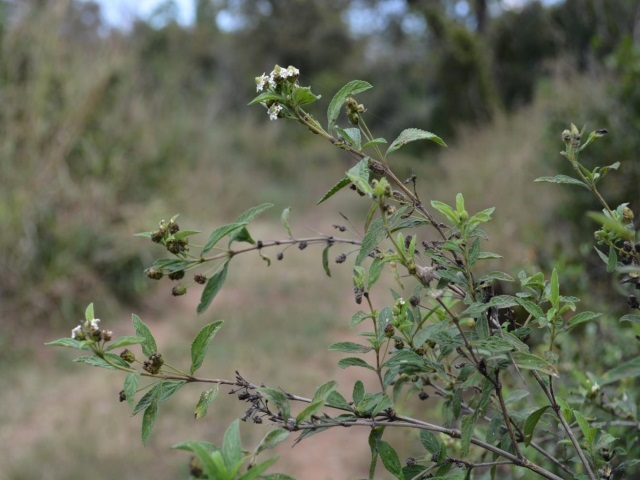 Lippia javanica Fever tea bush