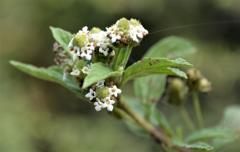 Lippia javanica waterwise fragrant medicinal flowering shrub