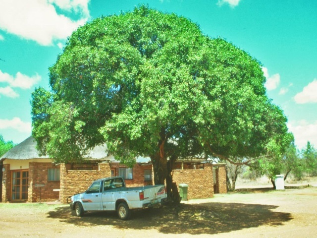 Mimusops zeyheri shade tree
