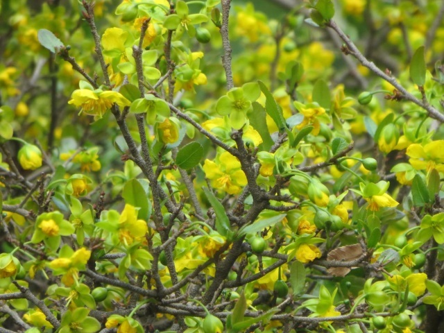 Ochna natalitia yellow flowers
