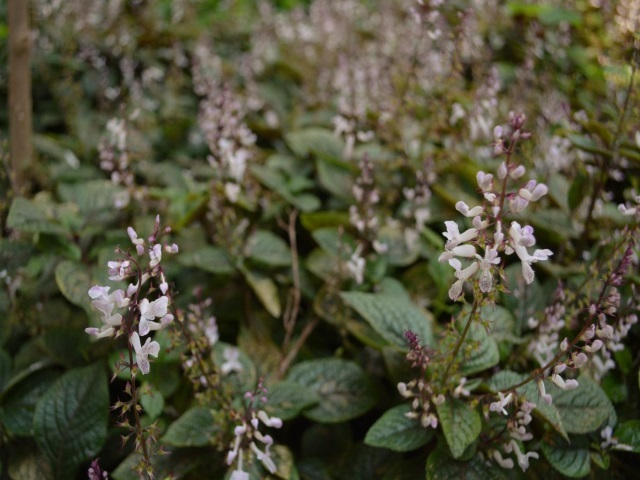 Plectranthus ciliatus leaves and flowers