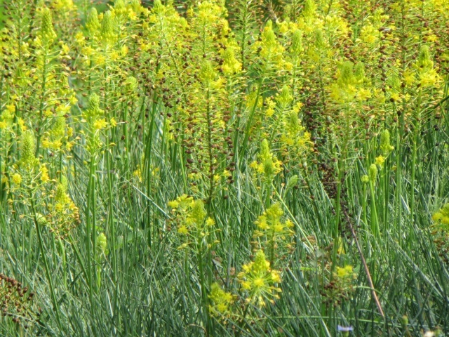 bulbine abyssinica flowers leaves mass planting