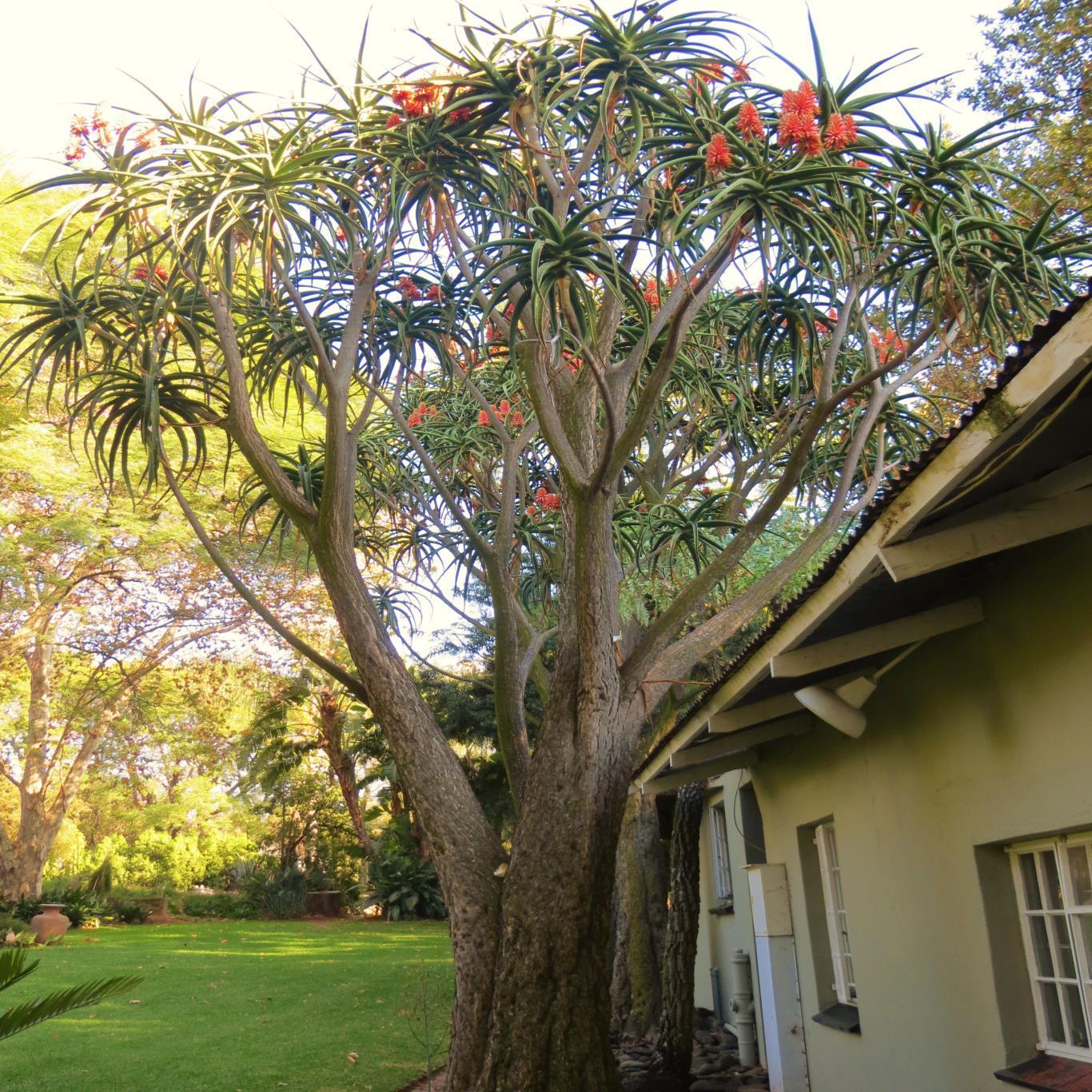 Aloe Barberae Bainesii