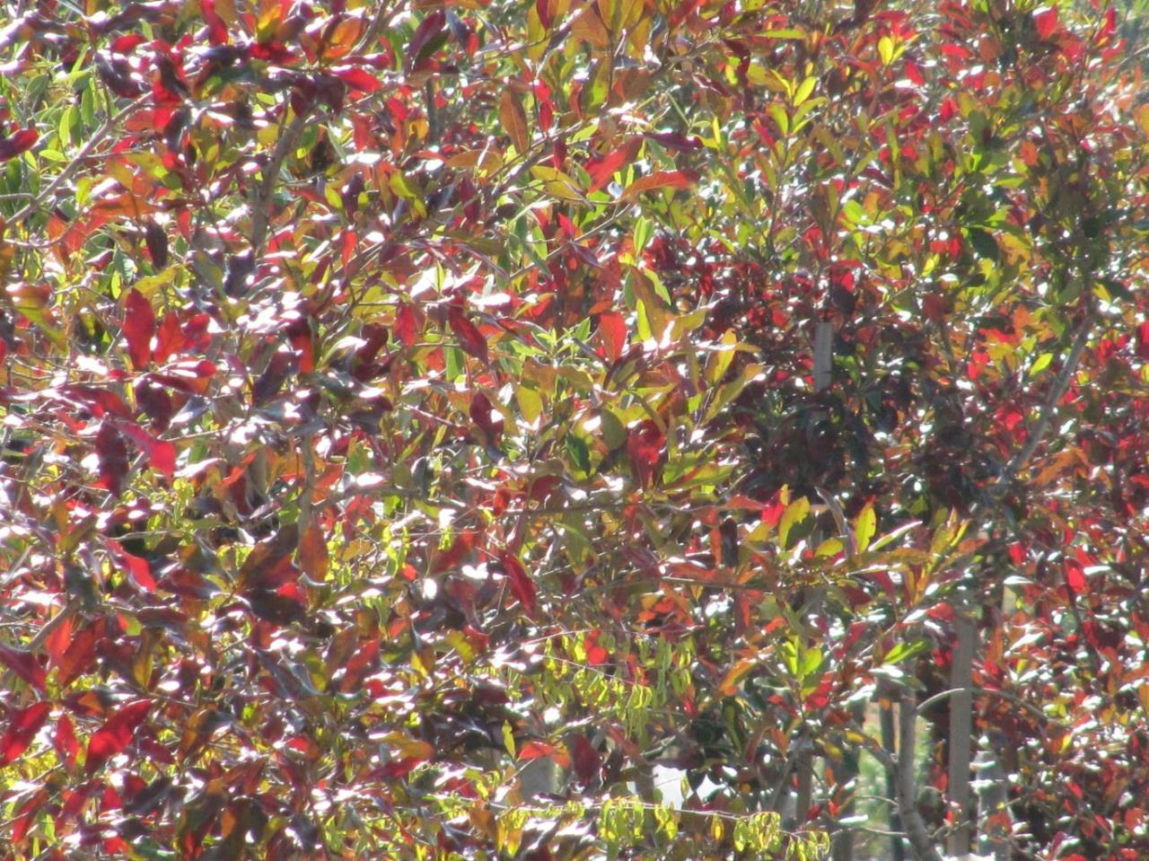 Combretum kraussii autumn leaves 3