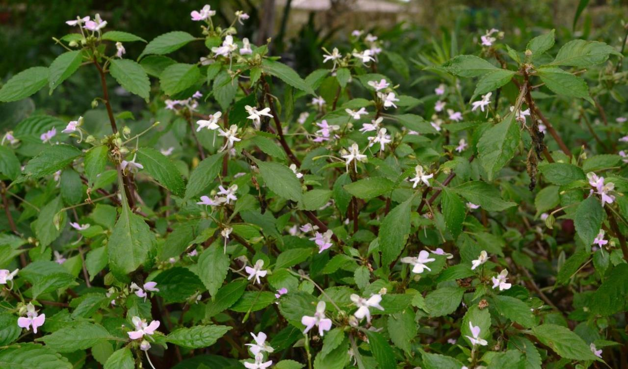 Impatiens hochstetterii flowering bedding plant for shade