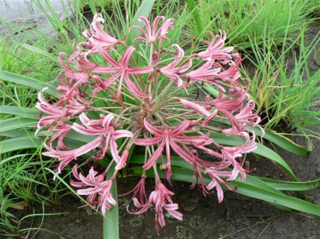 Nerine laticoma indigenous flowering bulb
