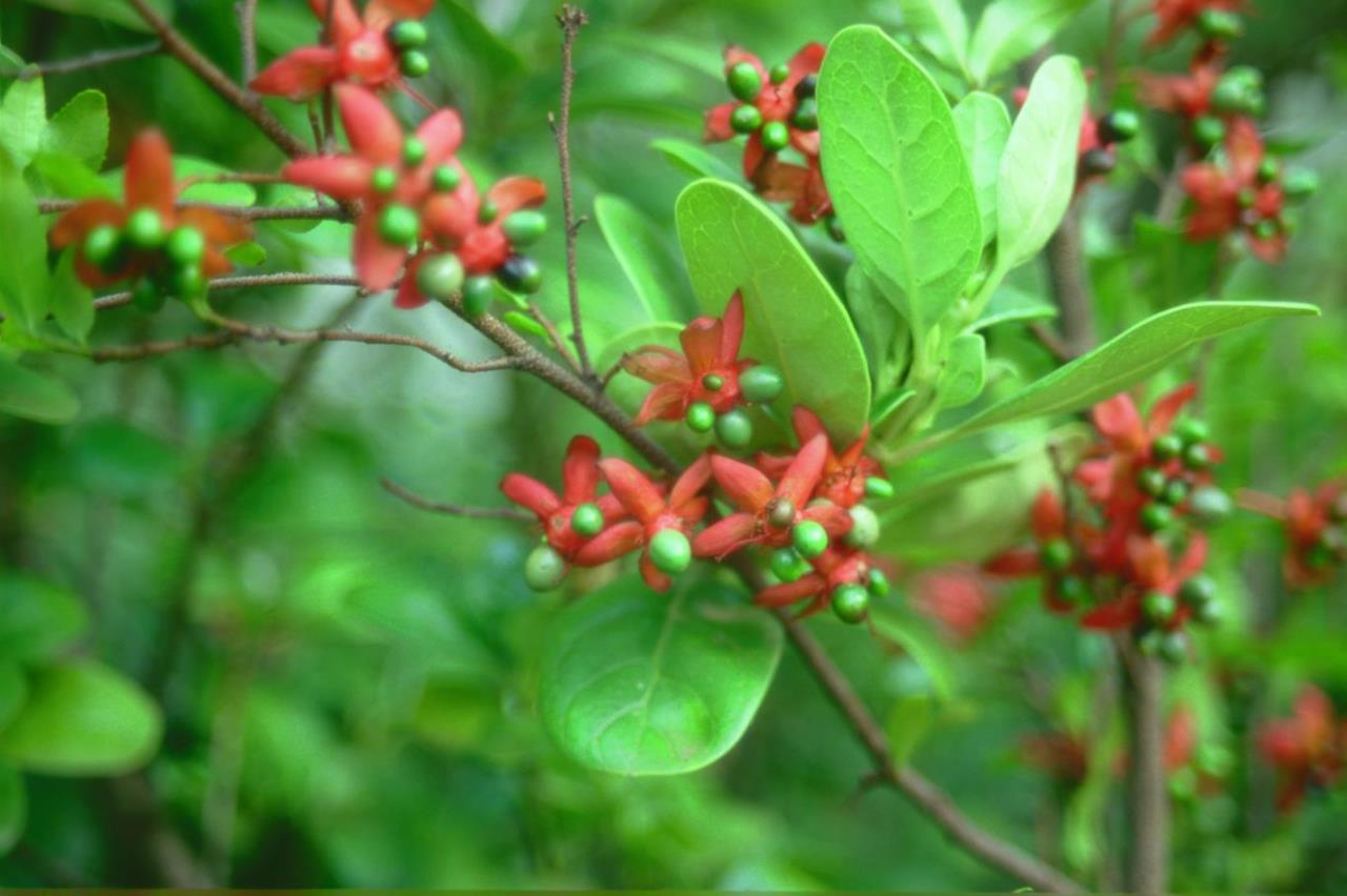 Ochna natalitia fruit with persistent calyx