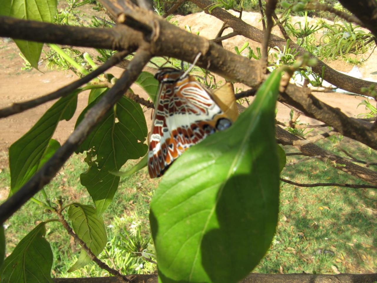 Turraea floribunda leaves with Charaxes butterfly