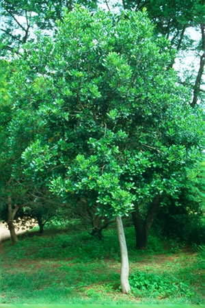 Recommended indigenous trees for pools part five for Small sized evergreen trees
