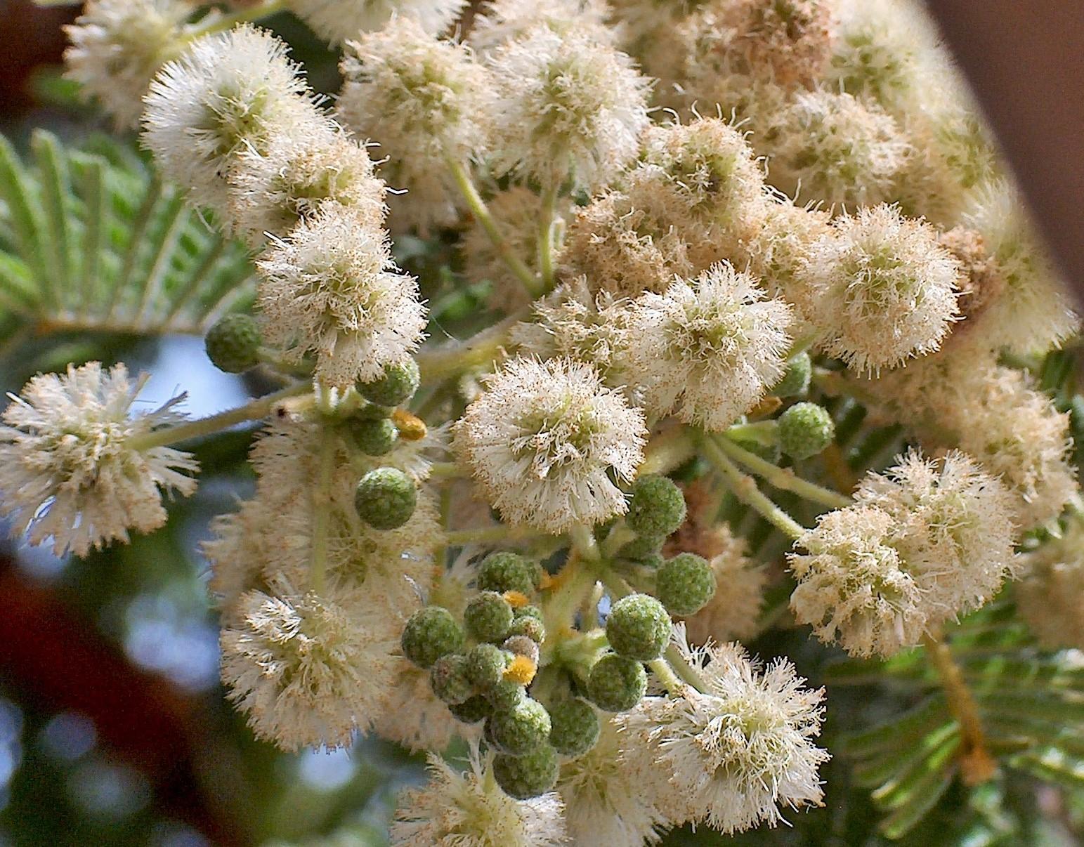Acacia rehmanniana mightylinksfo