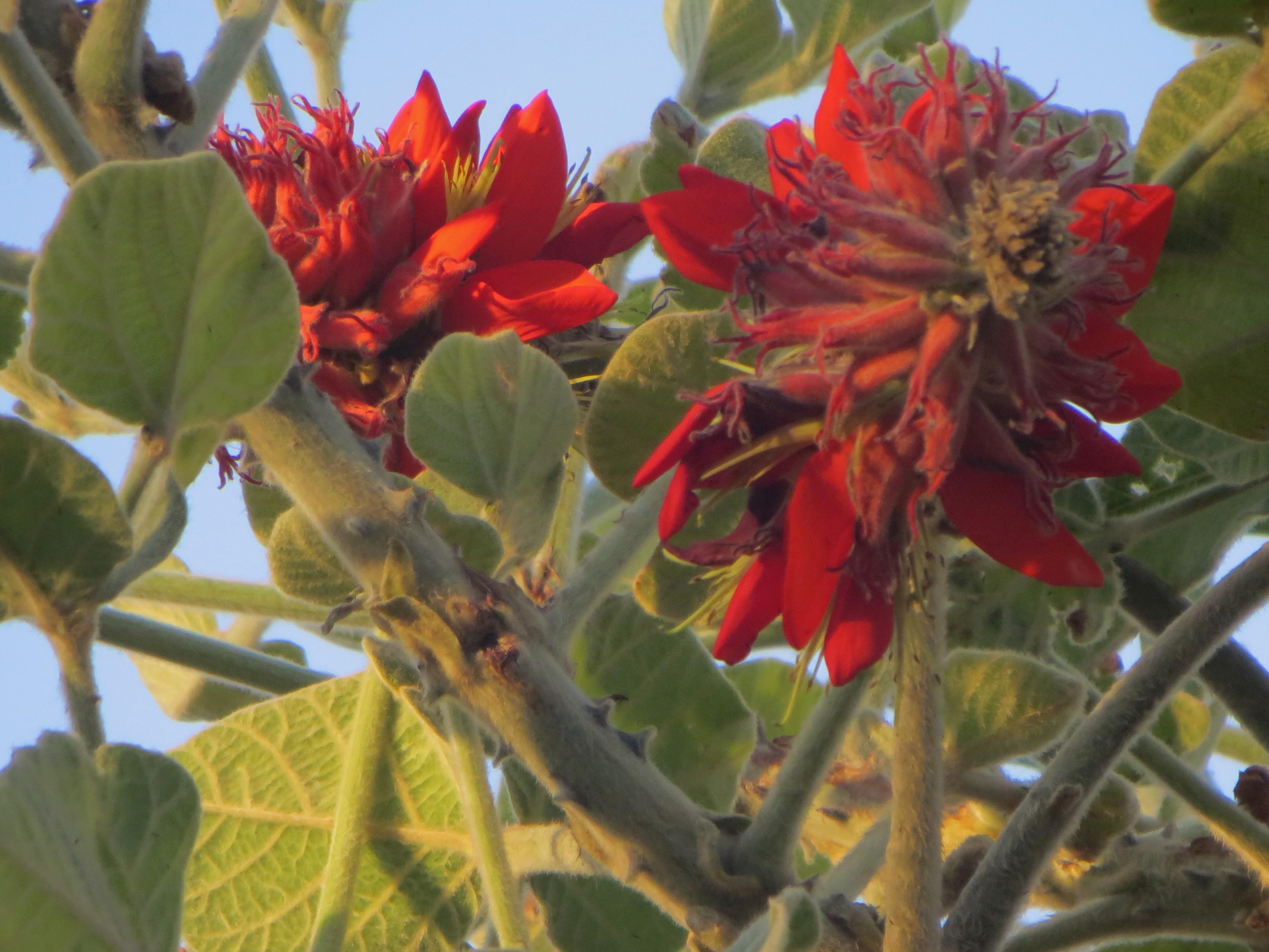 Garden Bush: Erythrina Latissima