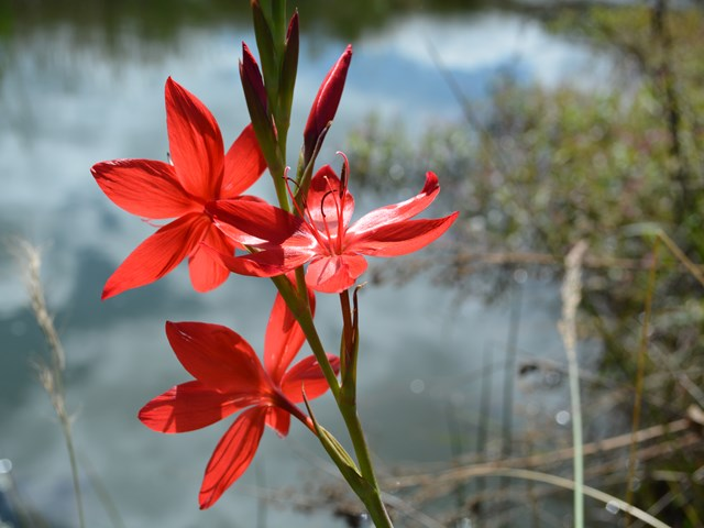 Hersperantha coccinea flowers red