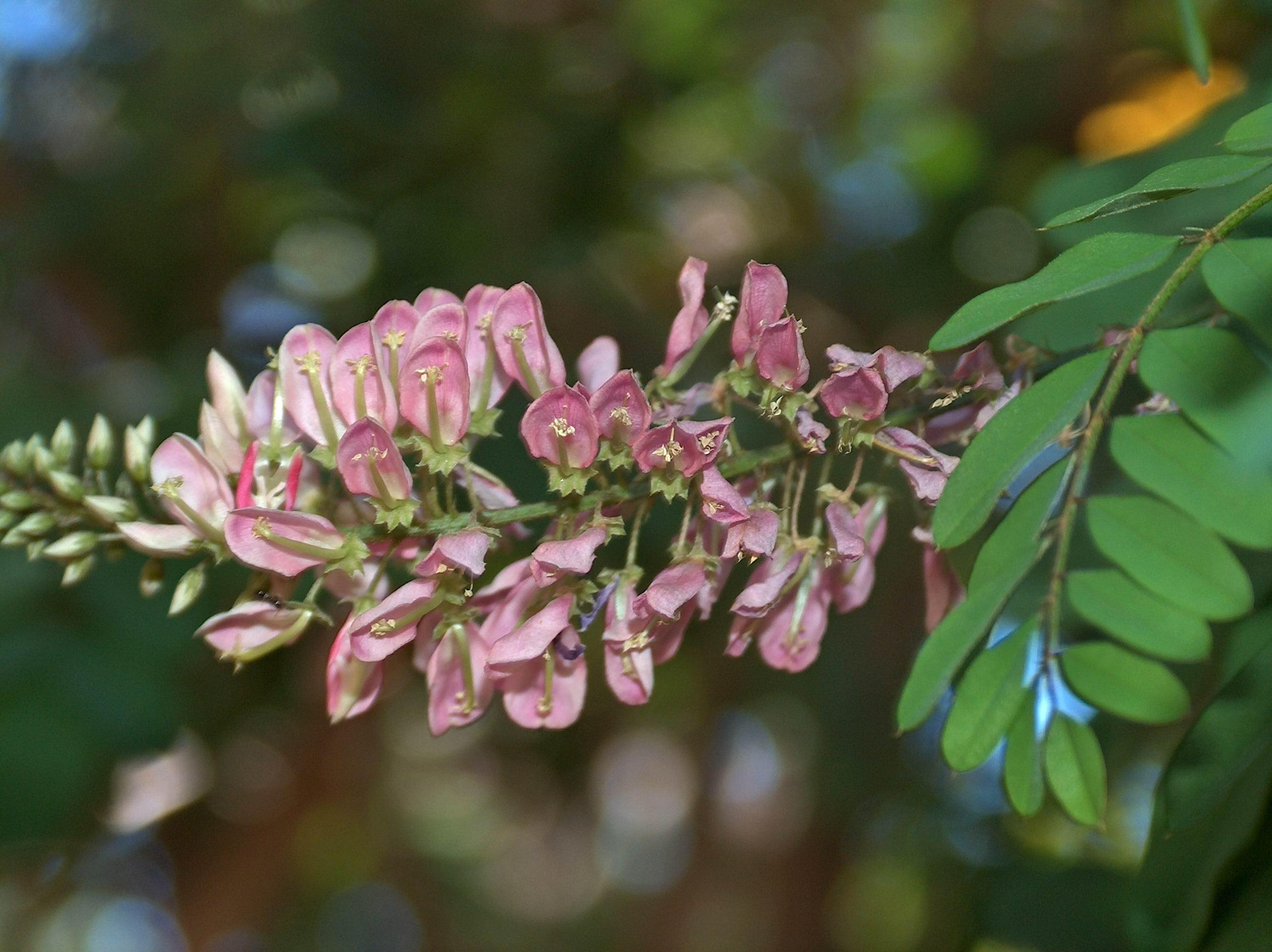 Garden Bush: Indigofera Frutescens