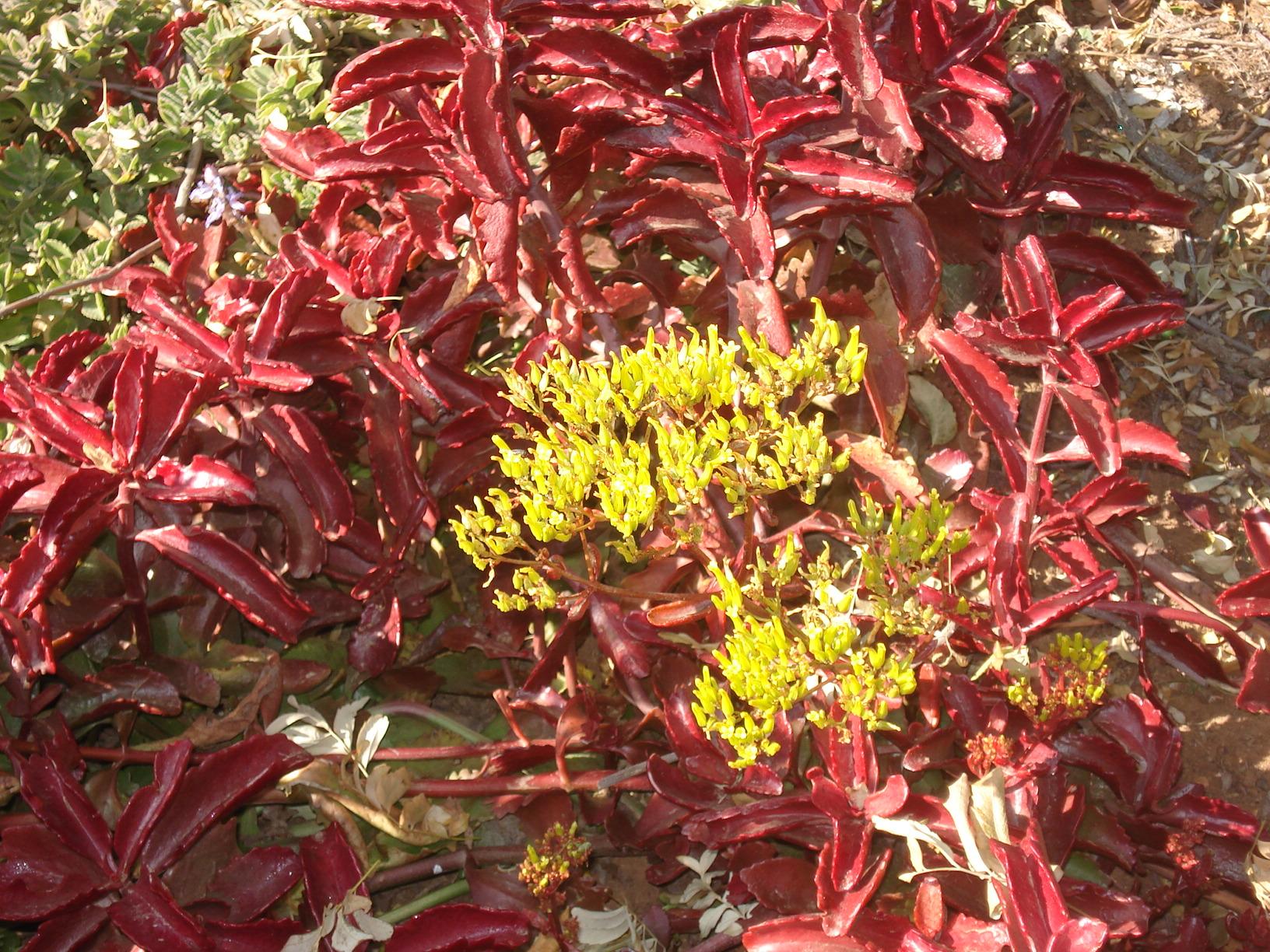Garden Bush: Kalanchoe Sexangularis