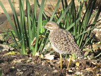 Spotted Thick-Knee Dikkop