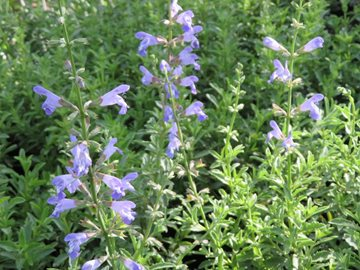 Salvia  Beautiful Blue