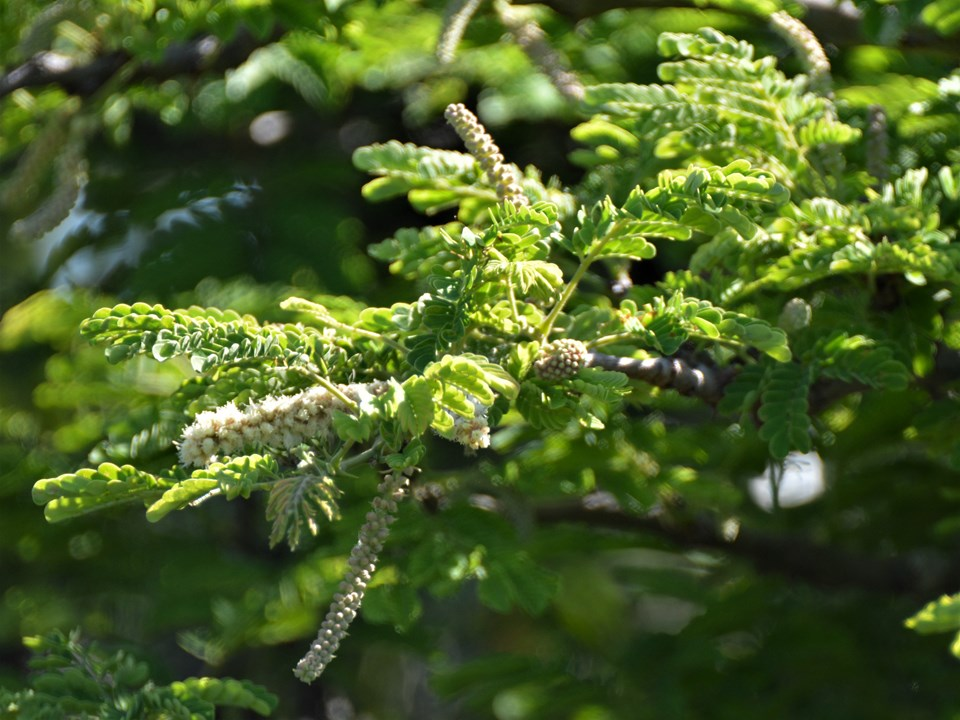 Acacia burkei flowers and buds