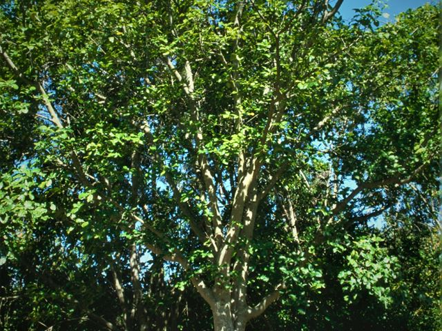 Calodendrum capense large tree