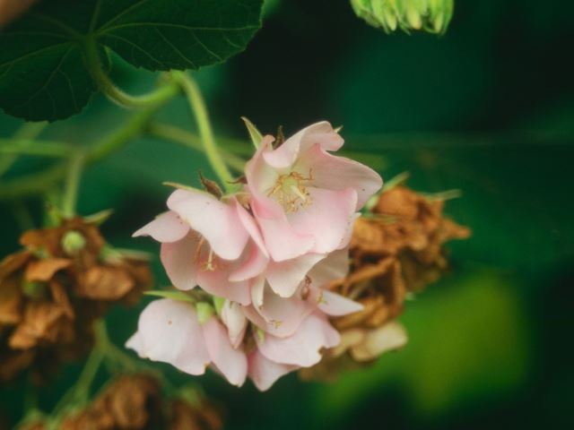 Dombeya burgessiae flower 3