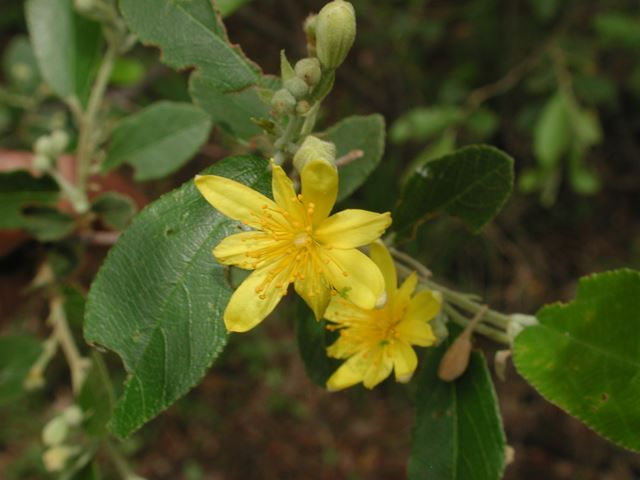 Grewia flava leaves flower and buds