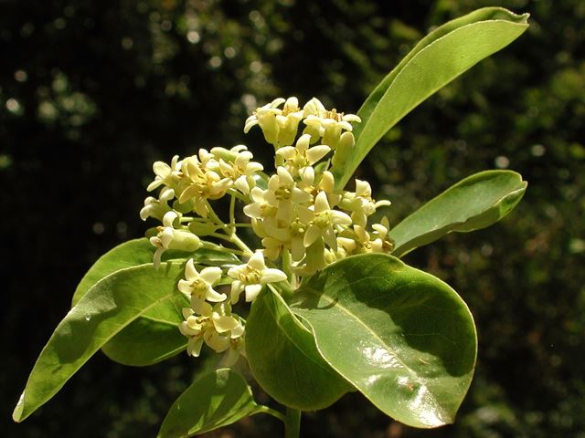 Pittosporum viridiflorum flowers 1