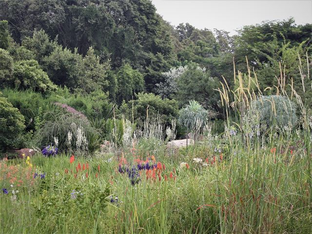 Plant a grassland with indigenous grasses and flowering plants Setaria sphacelata tall grass