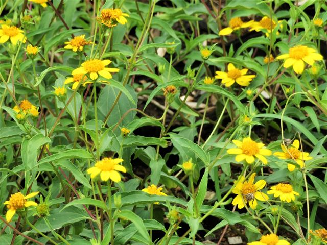 Wild Sunflower Aspilia mossambicensis groundcover
